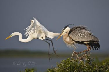 Great Egret and Great Blue Heron on nesting island in Laguna Madre, Texas