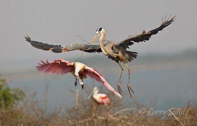 Great Blue Heron and Roseate Spoonbills, Laguna Madre, Texas