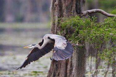 Great Blue Heron (Ardea herodias) in cypress swamp, east Texas