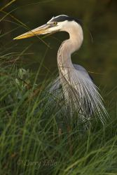 Great_Blue_Heron_Larry_Ditto_MG_8177