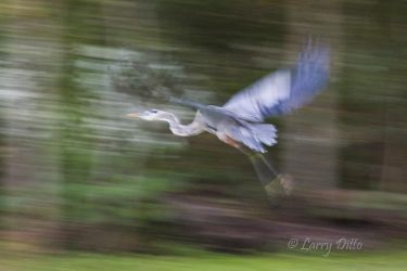 Great Blue Heron in flight at 1/20th second.