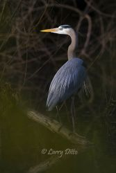 Great Blue Heron perched in trees on Paradise Pond in Port Aransas, Texas