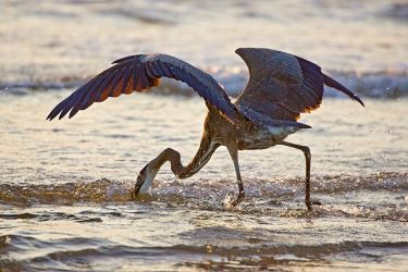 Great_Blue_Heron_Larry_Ditto_X0Z5041