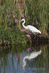 Great Egret and morning glories, South Padre Island World Birding Center