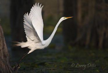 Great Egret in flight, Caddo Lake, Texas