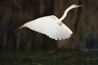 Great_Egret_Larry_Ditto_70K0328