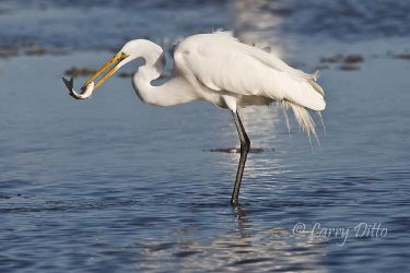 Great_Egret_Larry_Ditto_70K2968
