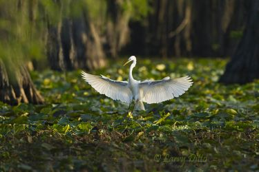 Great_Egret_Larry_Ditto_MG_0617