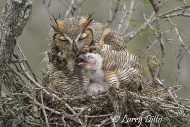 Great Horned Owl (Bubo virginianus) brooding young, s. Texas
