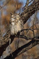 Great_Horned_Owl_Larry_Ditto_70K0039