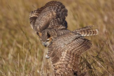 Great_Horned_Owl_Larry_Ditto_70K6993