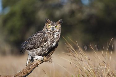 Great Horned Owl in Texas hill country