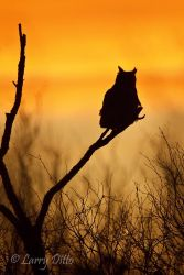 Great_Horned_Owl_Larry_Ditto_MG_9512