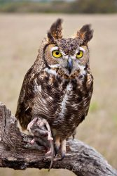 Great Horned Owl with rat, Block Creek Natural Area, Texas hill country