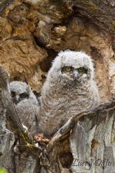 Great_Horned_Owls_Larry_Ditto_MG_6640