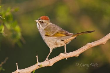 Green-tailed Towhee in winter, south Texas