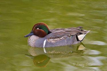 Green-winged_Teal_Larry_Ditto_MG_6166