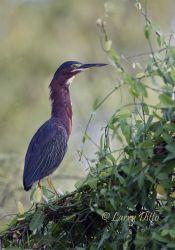 Green Heron at La Joya Lake, Texas