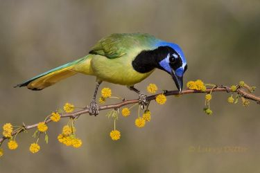Green Jay on huisachillo limb in bloom, s. Texas