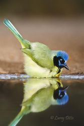 Green Jay bathing