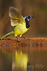 Green Jay (Cyanocorax yncas) flying from s. Texas ranch pond, winter