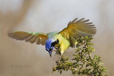 Green Jay (Cyanocorax yncas) landing in ebony tree, south Texas.