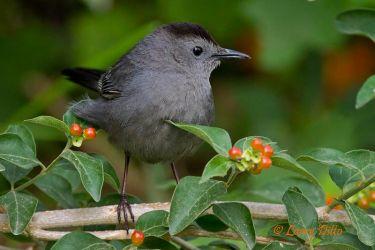 Gray Catbird in fiddlewood