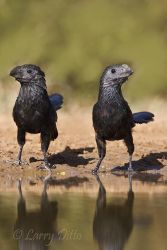 Groove-billed_Ani_Larry_Ditto_MG_2878
