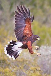 Harris's Hawk landing, Santa Clara Ranch, Texas
