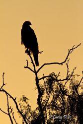 Harris's Hawk on the Weaver Ranch, Cameron Co., Texas
