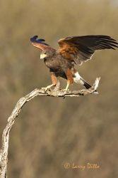 Harris's Hawk landing on perch, s. Texas