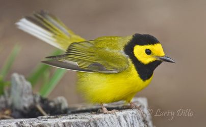 Hooded_Warbler_Larry_Ditto_70K2883
