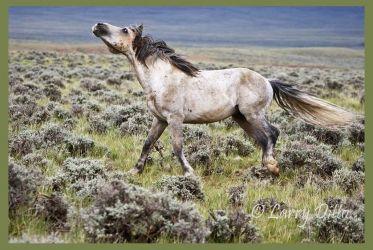 Herd stallion on the run, western Wyoming wild horses