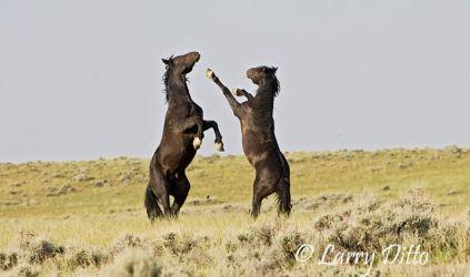 Feral Horses (Equus caballus) fighting, Wyoming prairie, summer