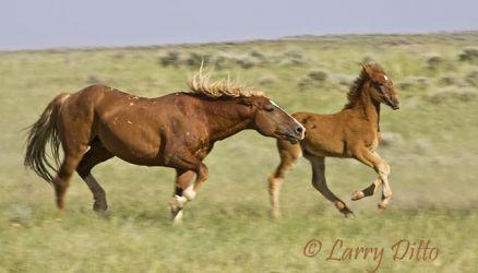 Feral Horses (Equus caballus), Wyoming, summer