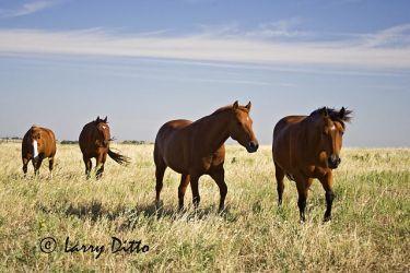 Horses_Larry_Ditto_x0z8866