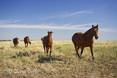 Horses_Larry_Ditto_x0z8868