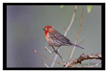 House Finch at sunrise