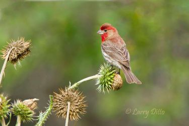 Male House Finch on Thistle seed heads