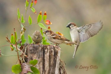 House_Sparrows_Larry_Ditto_MG_7189