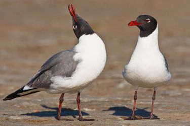 Laughing_Gull_Larry_Ditto_70K1882