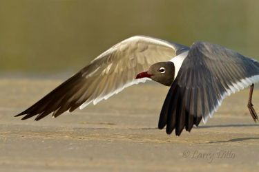 Laughing_Gull_Larry_Ditto_MG_4197