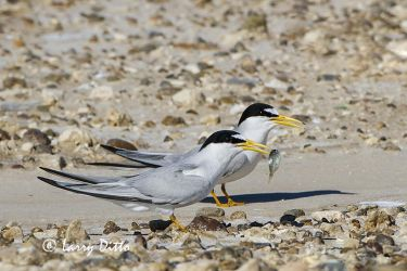 Least Tern (Sterna antillarum) with fish for mate