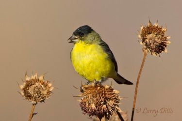 Lesser_Goldfinch_Larry_Ditto_MG_3734