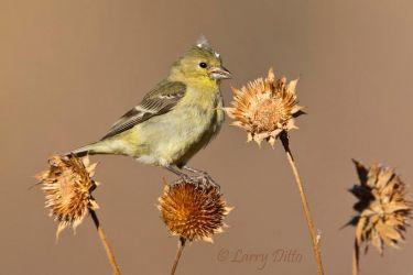 female lesser goldfinch eating sunflower seeds