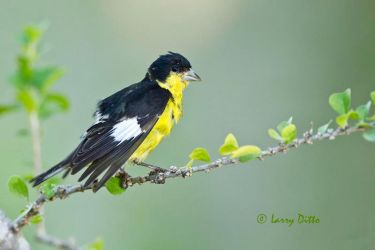 Lesser_Goldfinch_Larry_Ditto_MG_7617