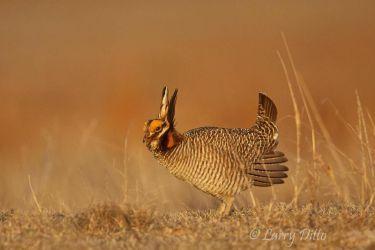 Lesser_Prairie_Chicken_Larry_Ditto_MG_1894