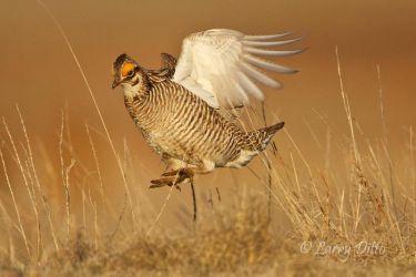Lesser_Prairie_Chicken_Larry_Ditto_MG_1946