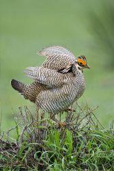 Lesser_Prairie_Chicken_Larry_Ditto_MG_6429