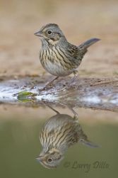 Lincoln_s_Sparrow_Larry_Ditto_MG_3126